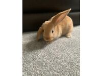 2 x lop bunnies for sale