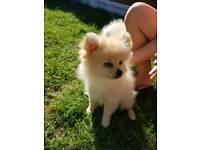 Mini Pomeranian Boy's