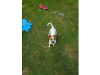 Jack Russell female one year old microchip all vac .very energetic and friendly looking for new home