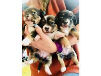 Jack Russel X puppies