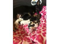 7 beautiful chihuahua puppies looking for their forever homes