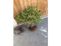 Free lavender plants and shrubs