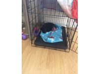 Patterdale terrier 6 months old