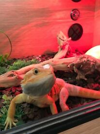 Hyper red bearded dragon 8 month old , comes complete with everything in the pictures