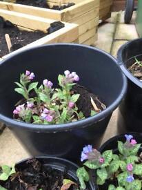 Perennial plants - spring-flowering - Pulmonaria