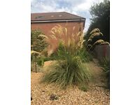 EXTRA LARGE PAMPAS GRASS ESTABLISHED PLANT 8 FT by 8FT