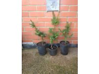 Yew trees bare root plants for hedging etc