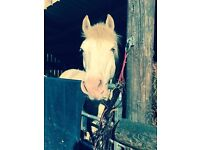 PONY FOR SALE Cremello white Connemara cross cob, 14hh 7yo , £1395ono