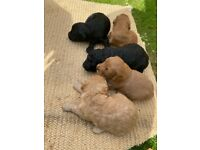 Beautiful Cockapoo puppies for sale!