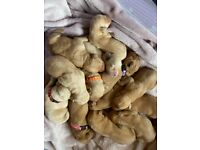 1 Kc registered Labrador male puppy available