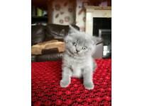 Amazing pedigree kittens