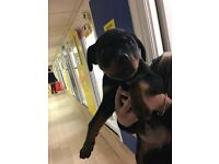Rottweiler puppy 5 months old all injections up to date