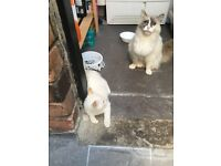Two half Ragdoll kittens for sale