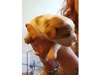 Stunning Cavalier King Charles spaniel puppies