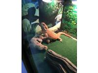 Bearded dragon. 7 months old with full set up