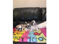 Shih Tzu bichon (Teddy bears) puppies