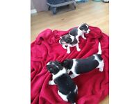 Jack russell puppys for sell