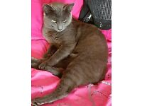 british blue x kitten 9 months old male is a stunning boy price reduced