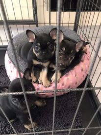 French bulldog puppies kc registered