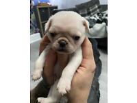 Pug puppies kc
