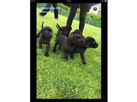 Special litter of black kc Labrador puppy for sale