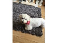 3 year old bichon frise