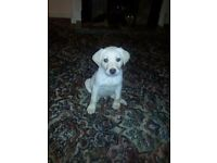 Labrador puppy pedigree certificate Only one gold boy left