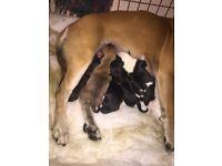 7 beautiful staffy x patterdale puppies
