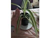 spider plants 1 big 4 smaller