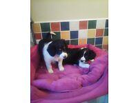 Bernese moutain dog cross border collie.(bordernese)