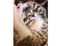 Beautiful tabby kitten looking for her forever home. Please message or txt for further details