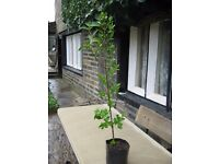 POT GROWN PRIVET HEDGE PLANTS.