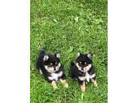 3/4 Pom Puppies