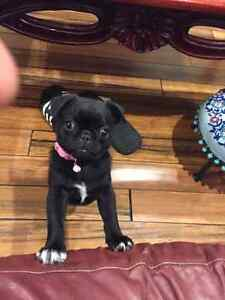 Looking for a pug Balmain Leichhardt Area Preview