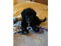 Collie x miniature poodle puppy