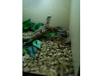 Bearded dragon male & female
