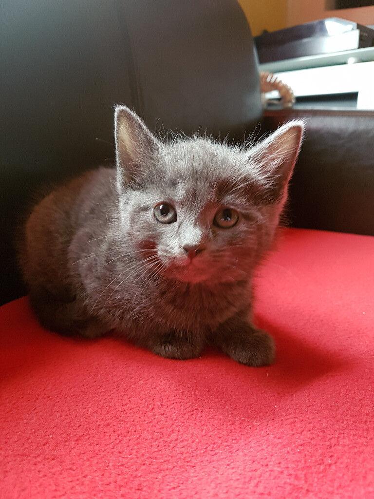 A beautiful short haired kitten!