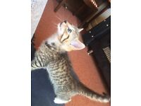 Stunning 11 week old male kitten