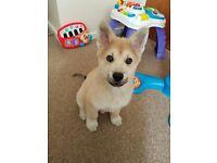 Chowski puppy