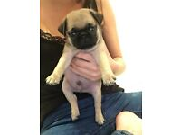 Pug puppies for sale fawn and silver / platinum 7/8 jug pups