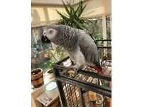 Lost African Grey Parrot - Delilah