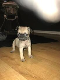 READY TO LEAVE Kc registered pug puppy girl
