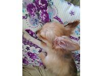 Chihuahua 4 months male