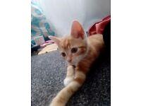 Kitten (11 Weeks)