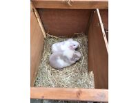 3x male guinea pigs with hutch and cage