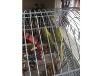 Budgie bird. For sale and cage only had them month