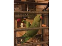 2 African ring neck parakeets for sale