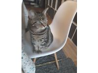 Beautiful tabby cat to be rehomed.