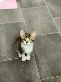 Mix male kitten