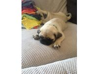 Pedigree KC registered Male Fawn Pugs